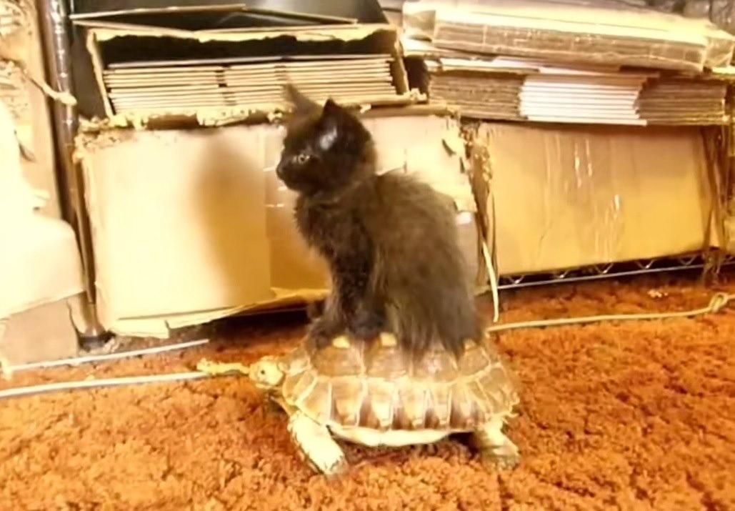 котенок на черепахе