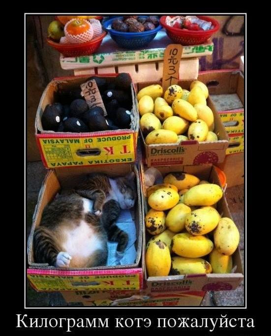 килограмм кота