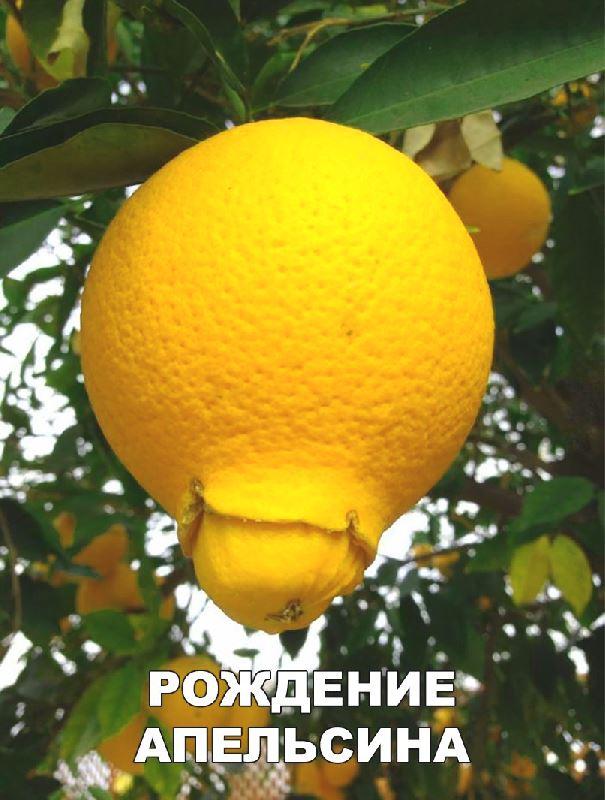 рождение апельсина