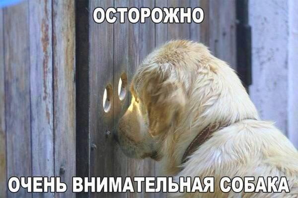 осторожно очень внимательная собака
